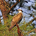 Opulent Osprey by Al Powell Photography USA