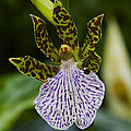 Orchid 11 by Ingrid Smith-Johnsen