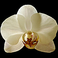Orchid 12 by Ingrid Smith-Johnsen