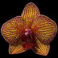 Orchid 16 by Ingrid Smith-Johnsen