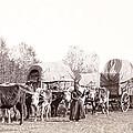 Ox-driven Wagon Freight Train C. 1887 by Daniel Hagerman