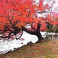 Panorama Of Red Maple Tree, Muskoka by Henry Lin