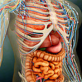 Perspective View Of Human Body, Whole by Stocktrek Images