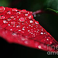 Poinsettia Leaf With Water Droplets by Kaye Menner