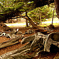 Point Lobos Whalers Cove Whale Bones by Barbara Snyder