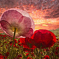 Poppy Sunrise by Debra and Dave Vanderlaan