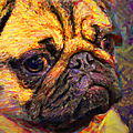 Pug 20130126v1 by Wingsdomain Art and Photography