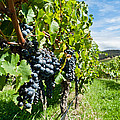 Ripe Grapes Right Before Harvest In The Summer Sun by Ulrich Schade