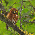 Rufous Morph Costa Rican Pygmy-owl by Tony Beck