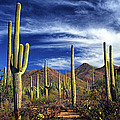 Saguaro Cactuses In Saguaro National Park by Randall Nyhof
