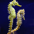 Sea Horse by Boon Mee