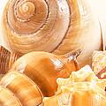 Shells by Jean Noren