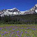 Showy Penstemon Wildflowers Sawtooth Mountains by Ed  Riche