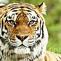 Siberian Tiger Beautiful Closeup by Boon Mee