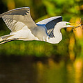 Snowy Egret Flying With A Branch by Andres Leon