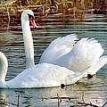 Swans by Gary Heller