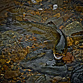 The Brown Trout by Ernie Echols