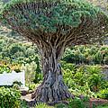 The Dragon Tree / El Drago Milenario by Gavin Lewis