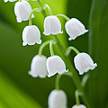 The Lily Of The Valley by Boon Mee