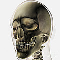 Three Dimensional View Of Human Skull by Stocktrek Images