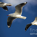 Three Silver Gulls In Flight by Avalon Fine Art Photography