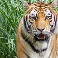 Tiger by Florentina De Carvalho