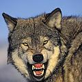 T.kitchin Wolf Snarling by First Light