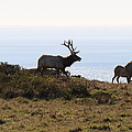 Tules Elks Of Tomales Bay California - 7d21230 by Wingsdomain Art and Photography