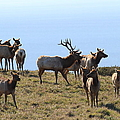 Tules Elks Of Tomales Bay California - 7d21236 by Wingsdomain Art and Photography