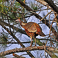 Turkey In A Tree by Al Powell Photography USA