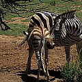 Zebra Mother And Foal by Graham Palmer