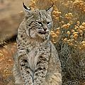 A Bobcat by Norbert Rosing