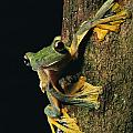 Close View Of A Wallaces Flying Frog by Tim Laman