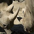 Eastern Black Rhinoceros by Joel Sartore