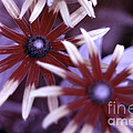 Flower Rudbeckia Fulgida In Uv Light by Ted Kinsman