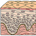 Illustration Of Stratified Squamous by Science Source