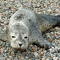 Injured Harbor Seal by Ted Kinsman