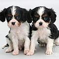 King Charles Spaniel Puppies by Jane Burton