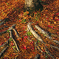 Oak Tree Roots And Pine Needles by Raymond Gehman