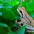 Pacific Tree Frog by Sean Griffin