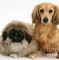 Pekingese And Dachshund Puppies by Jane Burton