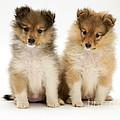 Sheltie Puppies by Jane Burton