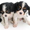 Spaniel Puppies by Jane Burton