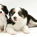 Puppies by Jane Burton