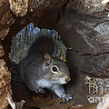 Gray Squirrel by Ted Kinsman