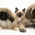 Puppies And Kitten by Jane Burton