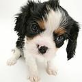 Puppy by Jane Burton