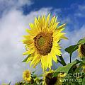Close Up Of Sunflower by Bernard Jaubert