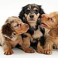 Dachshund Pups by Jane Burton