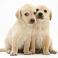 Labrador Retriever Puppies by Jane Burton